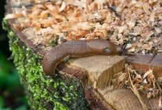 Ιβηρικό σαλιγκάρι Στοκ εικόνα με δικαίωμα ελεύθερης χρήσης
