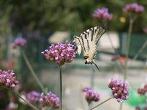 λιγοστό swallowtail πεταλούδων Στοκ φωτογραφίες με δικαίωμα ελεύθερης χρήσης