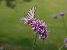 λιγοστό swallowtail πεταλούδων Στοκ εικόνες με δικαίωμα ελεύθερης χρήσης