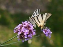 λιγοστό swallowtail πεταλούδων Στοκ Εικόνες