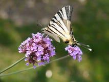 λιγοστό swallowtail πεταλούδων Στοκ φωτογραφία με δικαίωμα ελεύθερης χρήσης