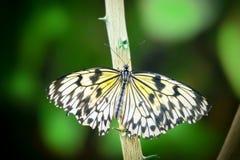 Ιδέα λεπτομέρειας πεταλούδων ικτίνων εγγράφου leuconoe στοκ φωτογραφία με δικαίωμα ελεύθερης χρήσης