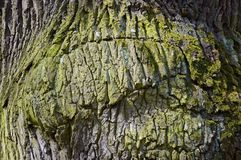 Ιδιαίτερα λεπτομερής σύσταση φλοιών δέντρων βαλανιδιά Στοκ Φωτογραφία