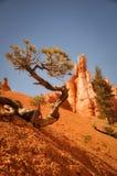 Ιδιόμορφο δέντρο στο ξηρό πάρκο φαραγγιών του Bryce Στοκ εικόνες με δικαίωμα ελεύθερης χρήσης