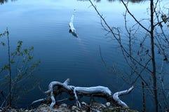 Ιδιότροπα ζώα κούτσουρων στη λίμνη Στοκ Φωτογραφίες