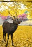 Ιερά ιαπωνικά ελάφια κατά τη διάρκεια του φθινοπώρου Στοκ Εικόνες