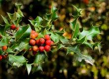 Ιερά φύλλα Χριστουγέννων Στοκ φωτογραφίες με δικαίωμα ελεύθερης χρήσης