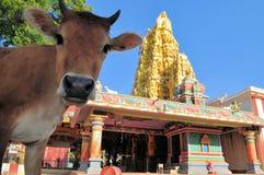 Ιερή αγελάδα μπροστά από τον ινδό ναό, Σρι Λάνκα στοκ εικόνες