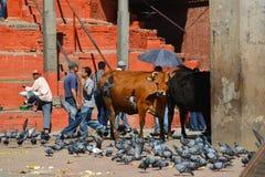 Ιερή αγελάδα σε Katmandu, Νεπάλ Στοκ Εικόνες