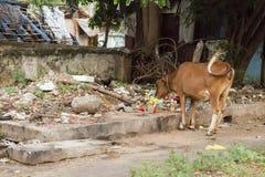 Ιερή αγελάδα στην οδό Ινδία θορίου Στοκ φωτογραφίες με δικαίωμα ελεύθερης χρήσης
