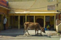 Ιερή αγελάδα Jaipur Στοκ φωτογραφία με δικαίωμα ελεύθερης χρήσης