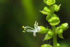 Ιερό λουλούδι βασιλικού Στοκ Φωτογραφίες