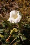 Ιερό datura, ένα άσπρο λουλούδι poisoonus Στοκ φωτογραφία με δικαίωμα ελεύθερης χρήσης