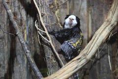 διευθυνμένο marmoset λευκό στοκ εικόνα