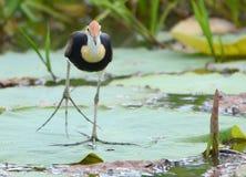 Ιησούς Bird - gallinacea Irediparra Στοκ εικόνα με δικαίωμα ελεύθερης χρήσης