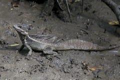 Ιησούς Lizard, βασιλίσκος, Κόστα Ρίκα Στοκ Εικόνες