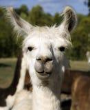 ΙΙ llama Στοκ Εικόνες