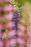 ΙΙ lupine Στοκ Φωτογραφίες