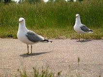 ΙΙ seagull Στοκ Εικόνα