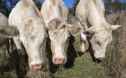 Ικανοποιημένες αγελάδες σε ένα λιβάδι Στοκ Εικόνες
