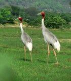 Ινδικά πουλιά γερανών sarus Στοκ Φωτογραφίες
