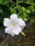 Ινδικά όμορφα λουλούδια κήπων του χωριού ζωής στοκ εικόνες