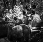 Ινδικά deers στοκ φωτογραφία με δικαίωμα ελεύθερης χρήσης