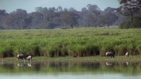 Ινδικά unicornis ρινοκέρων ρινοκέρων στο εθνικό πάρκο Kaziranga, Ινδία στοκ φωτογραφία με δικαίωμα ελεύθερης χρήσης