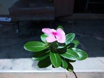 Ινδική άνθιση λουλουδιών Malancha στη σκεπαστή είσοδο πρόσοψης στοκ φωτογραφίες με δικαίωμα ελεύθερης χρήσης