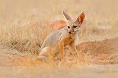 Ινδική αλεπού, bengalensis Vulpes, εθνικό πάρκο Ranthambore, Ινδία Άγριο ζώο στο βιότοπο φύσης Επίγεια τρύπα φωλιών αλεπούδων κον στοκ εικόνες