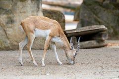 Ινδική αντιλόπη Blackbuck στο ζωολογικό κήπο Στοκ φωτογραφίες με δικαίωμα ελεύθερης χρήσης