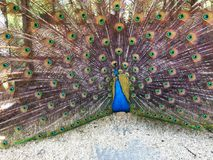 Ινδική επίδειξη peacock στοκ εικόνα