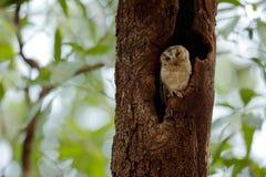 Ινδική κουκουβάγια scops, bakkamoena Otus, σπάνιο πουλί από την Ασία Όμορφη κουκουβάγια της Μαλαισίας στο δασικό βιότοπο φύσης Πο Στοκ φωτογραφία με δικαίωμα ελεύθερης χρήσης