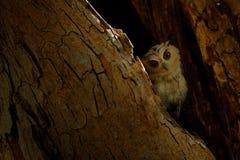 Ινδική κουκουβάγια scops, bakkamoena Otus, σπάνιο πουλί από την Ασία Όμορφη κουκουβάγια της Μαλαισίας στο δασικό βιότοπο φύσης Πο Στοκ Εικόνες