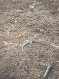 Ινδική σαύρα στο δάσος στοκ φωτογραφία με δικαίωμα ελεύθερης χρήσης