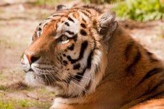 ινδική τίγρη Στοκ φωτογραφία με δικαίωμα ελεύθερης χρήσης