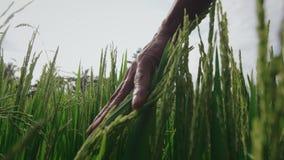Ινδικός αγρότης σχετικά με τους πράσινους σίτους απόθεμα βίντεο