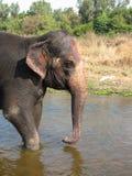 Ινδικός ελέφαντας που παίρνει ένα λουτρό στον ποταμό Στοκ Εικόνες