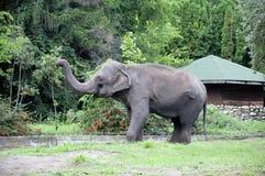 Ινδικός ελέφαντας Ινδικός ελέφαντας στο κλουβί ζωολογικών κήπων Στοκ εικόνες με δικαίωμα ελεύθερης χρήσης