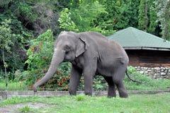 Ινδικός ελέφαντας Ινδικός ελέφαντας στο κλουβί ζωολογικών κήπων Στοκ Φωτογραφίες