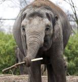 Ινδικός ελέφαντας Ινδικός ελέφαντας στο κλουβί ζωολογικών κήπων Στοκ Φωτογραφία