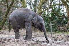 Ινδικός ελέφαντας Ινδικός ελέφαντας στο κλουβί ζωολογικών κήπων Στοκ φωτογραφία με δικαίωμα ελεύθερης χρήσης