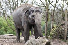 Ινδικός ελέφαντας Ινδικός ελέφαντας στο κλουβί ζωολογικών κήπων Στοκ Εικόνες