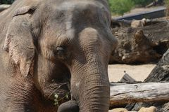 Ινδικός ελέφαντας στοκ φωτογραφίες με δικαίωμα ελεύθερης χρήσης