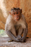 ινδικός πίθηκος Στοκ Φωτογραφίες
