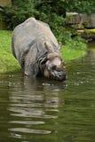 Ινδικός ρινόκερος στην όμορφη φύση που φαίνεται βιότοπος Στοκ φωτογραφίες με δικαίωμα ελεύθερης χρήσης