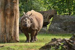 Ινδικός ρινόκερος στην όμορφη φύση που φαίνεται βιότοπος Στοκ εικόνες με δικαίωμα ελεύθερης χρήσης