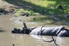 Ινδικός ρινόκερος στο νερό Στοκ φωτογραφίες με δικαίωμα ελεύθερης χρήσης