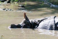 Ινδικός ρινόκερος στο νερό Στοκ εικόνες με δικαίωμα ελεύθερης χρήσης
