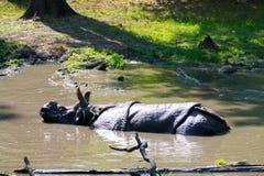 Ινδικός ρινόκερος στο νερό Στοκ φωτογραφία με δικαίωμα ελεύθερης χρήσης